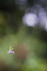 Attraper la lune (Thomas Vanderheyden) Tags: lune moon mantisreligiosa mantereligieuse insect insecte bokeh nature beautifulearth macro proxi colors couleur samyang135mm fujifilm thomasvanderheyden