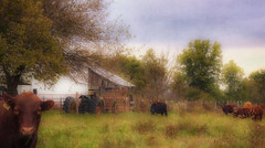 Green Acres (Southern Darlin') Tags: canon country kentucky cows landscape animal animals farm tractor nature naturephotography photography photo texture textures