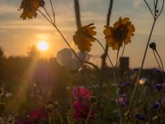 summerfeeling (schasa68) Tags: niederösterreich nö austria österreich sonnenuntergang natur nature sun sonne blumen sonnenstrahl mostviertel sunset hell blume