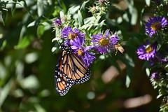 Monarch & Bee (Overduebook) Tags: sunkengardenslincoln monarch butterfly butterflies flowers