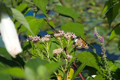 (ed.fusion) Tags: monarchbutterfly monarch insect butterfly