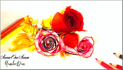 Your Heart of Roses (SevenOneSeven MamboDan) Tags: artistry stillphotography stilllife roses rosessketch sketchphotography colorpencils creativephotography artisticphotography artisticexpression art funphotography