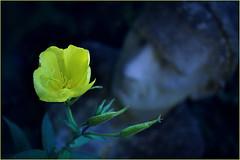 Lemon and pepper. That's the smell of a summer night. (Gudzwi) Tags: nachtkerze primerose eveningprimerose fragrance duft zitroneundpfeffer lemonandpepper abend evening blüte bloom summernight sommerabend garten garden statue beguiling betörend natur nature yellow gelb tempting verführerisch kopf head gartendekoration gardendecoration dunkelheit darkness darkbackground dunklerhintergrund blume flower makro macro yellowandblue gelbundblau sommernacht oenotherabiennis gemeinenachtkerze