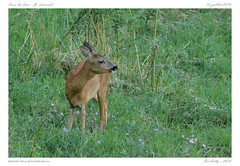 Chevrette (BerColly) Tags: france auvergne puydedome animal nature chevreuil roe rut été summer bercolly google flickr