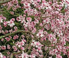 Magnolia Mass (Cornishcarolin. Stupid busy!! xx) Tags: cornwall httpswwwnationaltrustorguktrelissick nature flowers trees magnolias