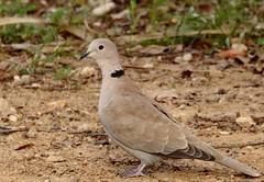MGM036795 (Mario Giner) Tags: aves bird birding canon afa alcoi 7d mario naturaleza