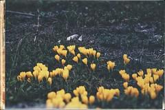 * (PattyK.) Tags: ioannina giannena giannina epirus ipiros balkans hellas ellada greece grecia griechenlad whereilive isleoflakepamvotida october 2018 autumn nikond3100 snapseed ιωάννινα γιάννενα γιάννινα ήπειροσ ελλάδα βαλκάνια europe europeanunion νησάκι οκτώβριοσ κίτρινο λουλούδια flowers yellow yellowflowers nature φύση