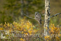 Northern Hawk Owl Tekiela TEK6403 (Stan Tekiela's Nature Smart Wildlife Images) Tags: allrightsreserved authornaturalistwildlifephotographer avian birds feathers birding wildlife birdsofprey predator predators raptor hawk owl falcon eagle naturesmartimagesbystantekiela northernhawkowlsurniaulula stantekiela copyright allrightsreservered stockimage professionalphotographer images animals nature naturalist wild stockphotos digitalimages critter stockimages autumn fall