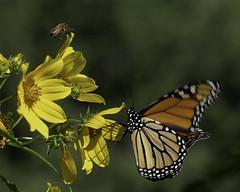 MonarchButterfly_SAF6649 (sara97) Tags: danausplexippus butterfly copyright©2018saraannefinke endangered missouri monarch monarchbutterfly nature photobysaraannefinke pollinator saintlouis towergrovepark
