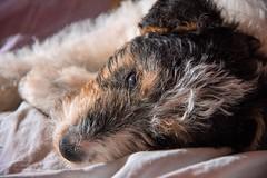 GFC_0241 (Willini) Tags: willini fox terrier foxterrier amigo lente bohke nikon mascota animal ternura