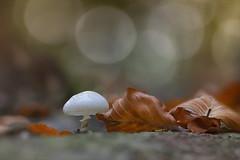 Herbst im Buchenwald... (angelika.kart) Tags: natur wald buchenwald buchenschleimrübling blätter laub bokeh pilz