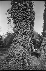 ivy-covered tree trunk, yard, neighborhood, Asheville, NC, Goerz Box Tengor, AristaEdu 200, Ilford Ilfosol 3 developer, 10.21.18 (steve aimone) Tags: treeforms treetrunk ivy ivycovered yard neighborhood asheville northcarolina goerz goerzboxtengor boxtengor boxcamera aristaedu200 ilfordilfosol3developer 6x9 mediumformat monochrome monochromatic blackandwhite 120 120film film