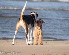 hound and terrier meet (RCB4J) Tags: ayrshire ayrshirecoast clydecoast firthofclyde irvinebeach jakob nature rcb4j ronniebarron scotland sigma150500mmf563dgoshsm sonyilca77m2 sunshine art babygrace beach dobermanterrier dogs photography sand siameselurcher traile trailhound wildlife