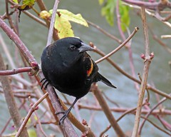 IMG_3829 Red-winged Blackbird (noreenrudd) Tags: dncb 201843 reifel