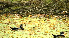Wood Duck_3011.mp4 (Henryr10) Tags: eastforklake eastforkstatepark bethelohio littlemiamiriverbasin usa stevenewmantrailhead woodduck aixsponsa aix duck avian bird vogel ibon oiseau pasare fågel uccello tékklistar waterfowl wodu