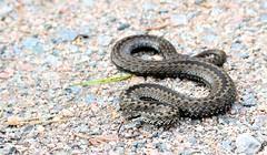 Huggorm 180930 Marsängsparkeringen (Morgan Lee Andersson) Tags: snake huggorm viper adder