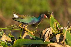 Purple Gallinule (Gary McHale) Tags: vegetation purple gallinule circle b bar reserve lakeland florida gary mchale flowers