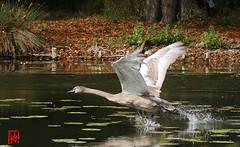 Un entrainement au décollage plusieurs fois par jour (mamnic47 - Over 9 millions views.Thks!) Tags: etangdelongchamp etang oiseaux cygnes 6c8a2471 envol cygneau