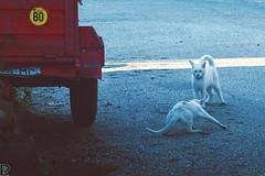 White cats | CATS // special edition (Robert Krstevski) Tags: robertkrstevski cat cats pet pets animal animals white gato photography catsphotography kitty kitten kittens kitties nikond3300 nikon specialcatsedition special street outdoor funny tire flicker moody colors europe macedonia road blue popular photo day caturday