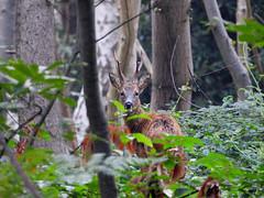 Capreolus capreolus (M.L Photographie) Tags: animal mammifère forêt bois arbre nature wildlife wildlifephoto wildlifephotography chevreuil capreolus deer nikon p1000 coolpix france normandie normandy eure