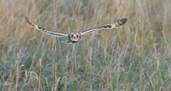 Short-eared Owl (KHR Images) Tags: shortearedowl short eared owl seo asioflammeus wild bird birdofprey inflight flying hunting daylight sunshine cambridgeshire fens nikon d500 kevinrobson khrimages