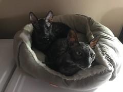 Sally & Mist (Boska) Tags: cornishrex rescuecat