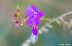 Growing wild in Cave Creek Canyon (Photosuze) Tags: flowers flora wildflowers arizona sanpedrotecktrefoil purple petals