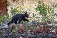 Wait for me! (Pejasar) Tags: black bear cub backyard cabin colorado estespark vacation animal mammal run wait