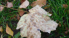 The Leaf (claire artistandpoet Stroke Survivor) Tags: leaf autumn details fallen