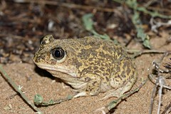 Western Spadefoot Toad (Pelobates cultripes) (Sky and Yak) Tags: pelobatescultripes pelobates cultripes western spadefoot toad amphibian herpetology sand dunes nocturnal spain valencia oliva beach nature naturalworld
