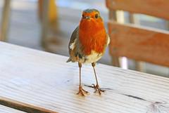 Hungry Robin ! (eric robb niven) Tags: ericrobbniven scotland robin fife wildlife wildbird nature scottish springwatch