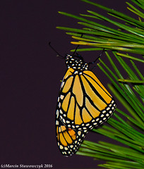 Single (v4vodka) Tags: monarch monarchbutterfly motyl motylek milkweed commontiger wanderer blackveinedbrown danausplexippus monarchfalter amerikanischemonarch monarcha 君主斑蝶 insect butterfly