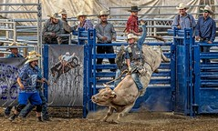 Eight Seconds To Glory (Wes Iversen) Tags: davisburg fencefriday hff michigan nikkor18300mm oaklandcountyfair superkickerrodeo action animals bullriding bulls cowboys dust fences gates mammals men motion people rodeoclowns
