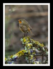 Robin (Owen Piscopo) Tags: nikon nikond750 nikon200500mmf56 malta owenpiscopo bird robin