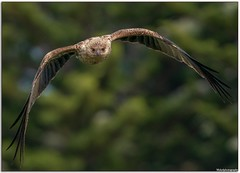 Whistling Kite (Mykel46) Tags: outdoor outside 14xtele 100400mm a9 sony flight wildlife nature birds bif