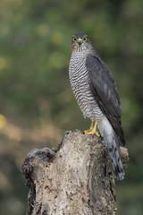 "Sparviere (Accipiter Nisus) Sparrowhawk (""Marco50"" Marco Mattei) Tags: sparrowhawk sparviere accipiternisus bosco tronco occhi uccello rapace albero birdwatcher"