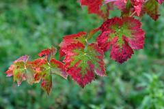 verde e rosso (♥iana♥) Tags: vino uva grape vendemmia autunno autumn fall rosso red vite vigna grapevine montemarano avellino campania italia