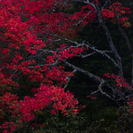 Red Maple Tree At Dusk thumbnail