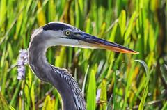 11-12-18-0041799 (Lake Worth) Tags: animal animals bird birds birdwatcher everglades southflorida feathers florida nature outdoor outdoors waterbirds wetlands wildlife wings