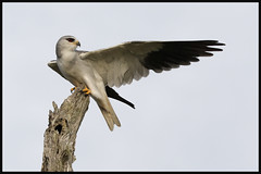 2018 02 02_Black-shouldered Kite-2 (Jonnersace) Tags: africa africanbirds blackshoulderedkite blouvalk elanuscaeruleus kite raptor birdofprey bird predator wild krugernationalpark southafrica grey black yellow red eye beak talons wing canon canon7dii canon100400ii wildwingssafaris