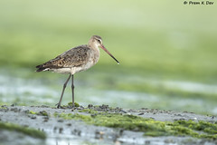 # Black-tailed Godwit............. (Prem K Dev) Tags: black tailed godwit blue bird beautiful bokeh bg wader water white wild wildlife wings details nature chennai colourful composition avian attractive action brown chocolate india pose preening pulicat pleasing drop green