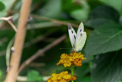 FARFALLA MACRO    ----    MACRO BUTTERFLY (cune1) Tags: macro animali animals farfalle butterfly fiori flowers alberi trees italia parcodelticino