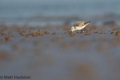 Sanderling (Matt Hazleton) Tags: sand sanderling beach coast shore shorebird sea rspb rspbtitchwellmarsh titchwell titchwellmarsh norfolk canon canoneos7dmk2 canon100400mm eos 7dmk2 100400mm matthazleton matthazphoto calidrisalba