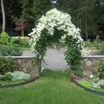 Flowers And Garden Ideas : clematis paniculata… thumbnail