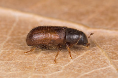 Tomicus piniperda (NakaRB) Tags: 2017 insecta coleoptera scolytidae tomicuspiniperda