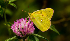 7K8A4833 (rpealit) Tags: scenery wildlife nature weldong brook management area orange sulphur butterfly