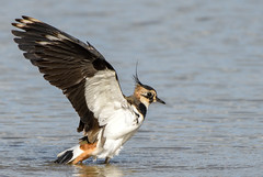 Lapwing (photogramps) Tags: lapwing birds water wildlife rspb wwt