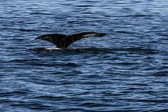Humpback Whale 01 (Craig Tata) Tags: acadianationalpark nationalparks barharbor animals ocean nature wildlife whale seal dolphin
