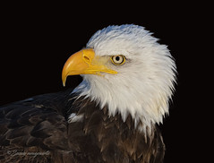 American Bald Eagle (Susan Newgewirtz /Off for a while) Tags: nikon ontario wildlifephotography eagle raptor birdsofprey americanbaldeagle