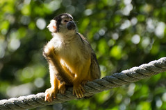 Doodshoofdaap - Squirrel monkey (Den Batter) Tags: nikon d7200 zooparc overloon squirrelmonkey samiri doodshoofdaap